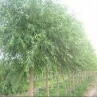 苗圃4公分垂柳价格 5公分垂柳价格 6公分垂柳价格