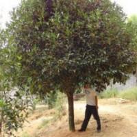 提供1.5米桂花价格 2米冠桂花价格 3米冠桂花价格 桂花产地