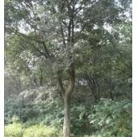 大量供应丛生朴树价格 28公分丛生朴树价格 25公分朴树价格