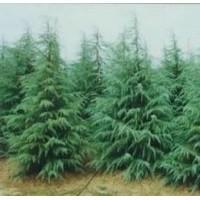 南京当年雪松种苗价格 2米雪松价格