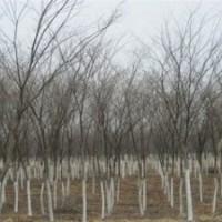 长期提供15公分榉树价格 南京榉树产地