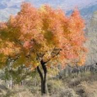 黄连木树产地.黄连木价格.丛生黄连木价格