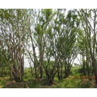 江西供应丛生朴树价格 3米冠丛生朴树价格 4米丛生朴树价格