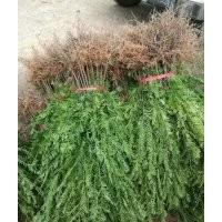 大批销售和低价处理红豆杉、金丝楠、金桂、丹桂苗木