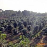 山东常年供应2米冠桂花价格 2.5米冠桂花价格