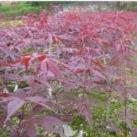 供鸡爪槭红枫红叶石楠樱花红叶李红梅罗汉松三角枫
