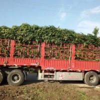 法国冬青基地:江西南昌市哪里有高度50-220公分法国冬青绿篱苗卖