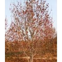 八棱海棠树报价 八棱海棠树13公分高度350冠幅350