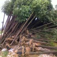 提供香樟基地南京15公分优质香樟出售
