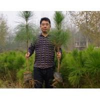 云南50-80公分湿地松苗供应-希望苗圃基地直发
