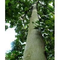 江苏10公分12公分15公分青铜树价格