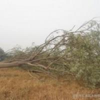 现在15公分构树报价是多少产地在哪