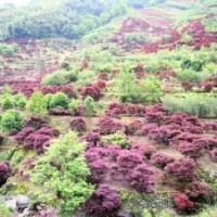 鸡爪槭,青枫,桂花,玉兰,红梅,红叶李等绿