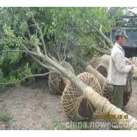 南京全冠丛生朴树报价15过分优质朴树基地