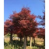 5-25公分红枫