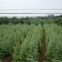 江苏南京高度3米4米5米雪松树报价