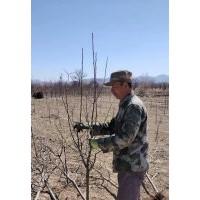 【八棱海棠树】八棱海棠价格,八棱海棠种植基地