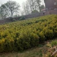 小叶黄杨高0.4-0.8米北京大苗圃基地购树木市排价