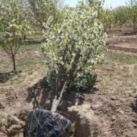 八棱海棠价格 基地6公分7公分八棱海棠树价格