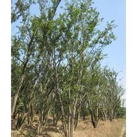 安徽出售40公分50公分80公分丛生朴树产地价格