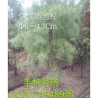 供应优质池杉6-13公分