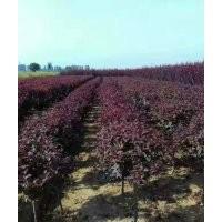 紫叶矮樱,丛生矮樱