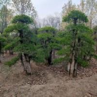 造型对节白蜡地径15-30公分北京大苗圃基地购树木市排价