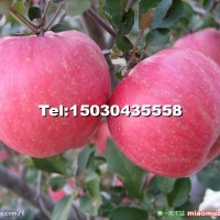 苹果苗红富士