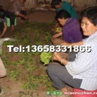 曼地亚红豆杉小苗