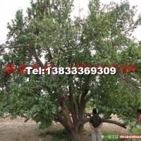 八棱海棠古树