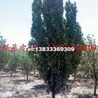 京红海棠树