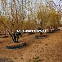 胸径6-15公分元宝枫北京大苗圃基地购树木市排价