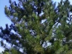 油松的种植方法、分布地区、图片参考