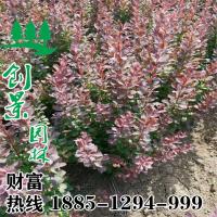 红叶小檗基地直销