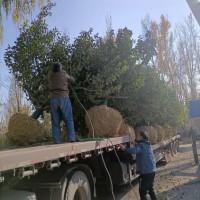 16公分八棱海棠树