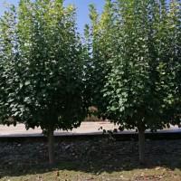 精品八棱海棠树