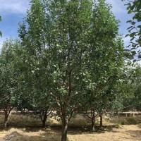 2021年八棱海棠树