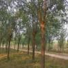 柳树、速生柳、竹柳