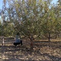 14公分八棱海棠树