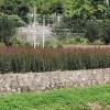 红枫鸡爪槭小苗